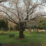 2013_cherry_blossom