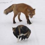 fox_n_cat